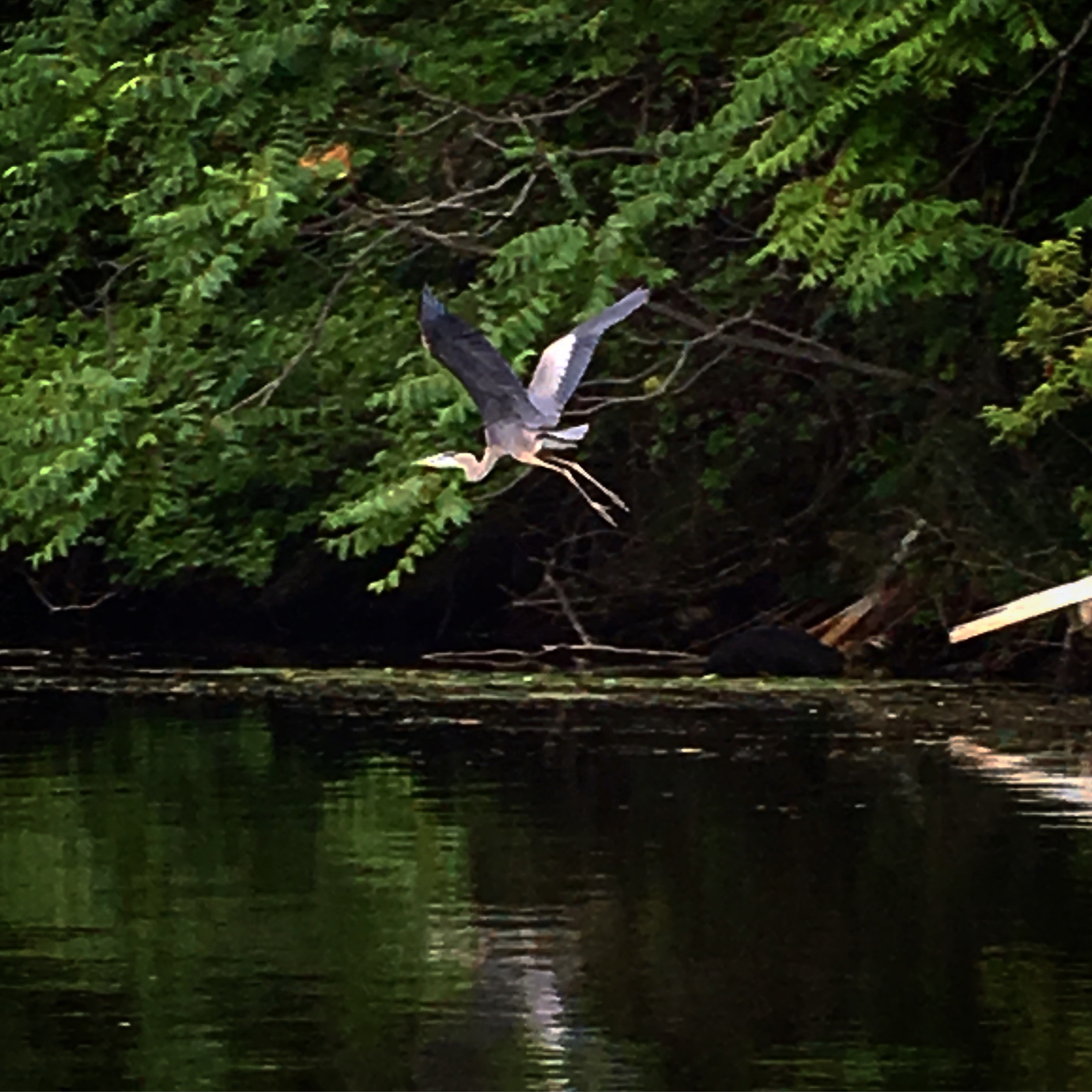 Heron on the Malden by Brynmore Williams